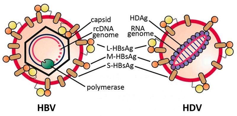 Cấu tạo của virus viêm gan B và viêm gan D