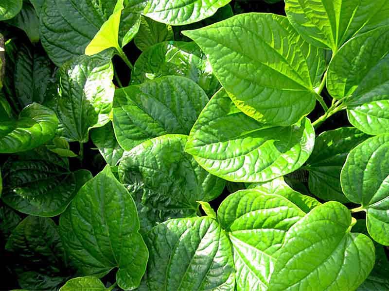 Lá lốt được sử dụng rất nhiều trong các bài thuốc chữa bệnh ngoài da