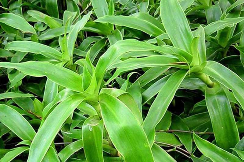 Cây lược vàng chứa nhiều dưỡng chất tốt cho da