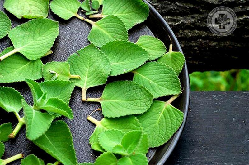 Chữa viêm amidan bằng thảo dược tự nhiên - Lá húng tần