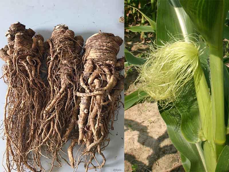 Râu ngô và rễ đương quy
