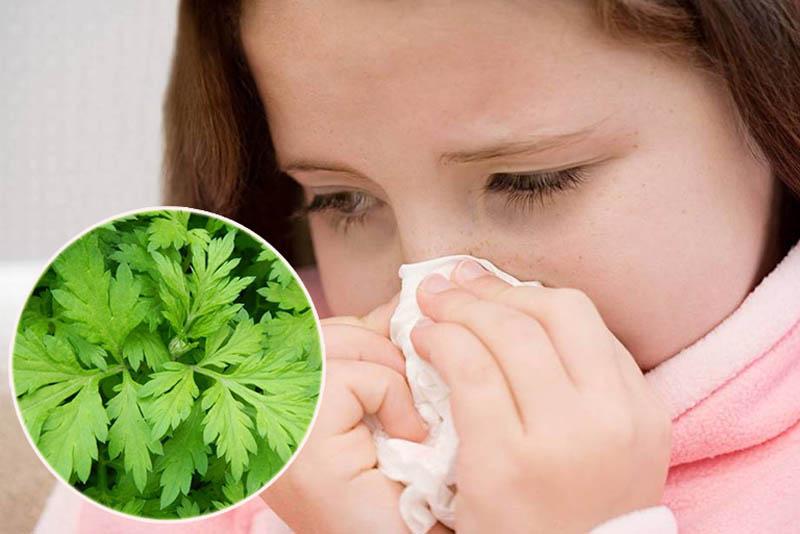 Chữa viêm mũi dị ứng cho bé bằng ngải cứu an toàn