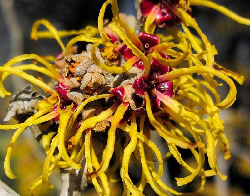 Hoa cây phỉ