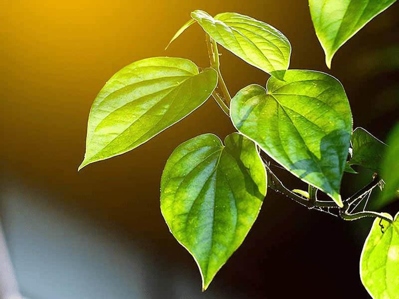 Lá trầu không có nhiều lợi ích trong quá trình chữa bệnh viêm amidan