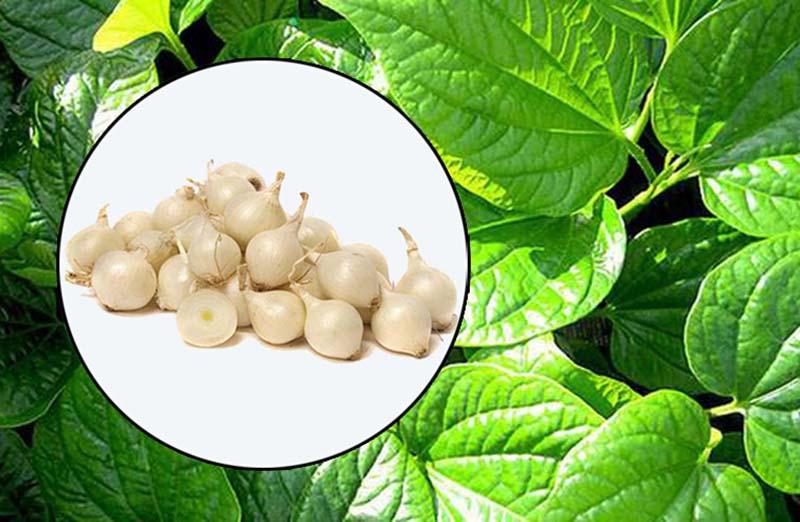 Hành tăm, hay củ nén thường xuyên được sử dụng kết hợp với là trầu không để giảm sưng viêm amidan