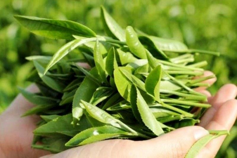 Bài thuốc giảm phong ngứa hiệu quả từ lá chè xanh