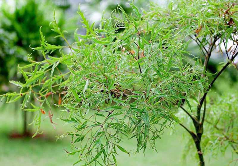 Chữa viêm amidan bằng lá đinh lăng được nhiều người sử dụng