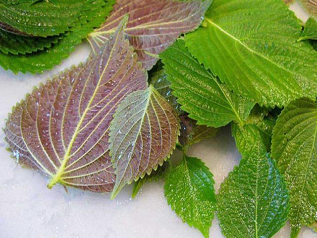 Lá tía tô chứa nhiều hoạt chất có lợi cho việc chữa bệnh amidan