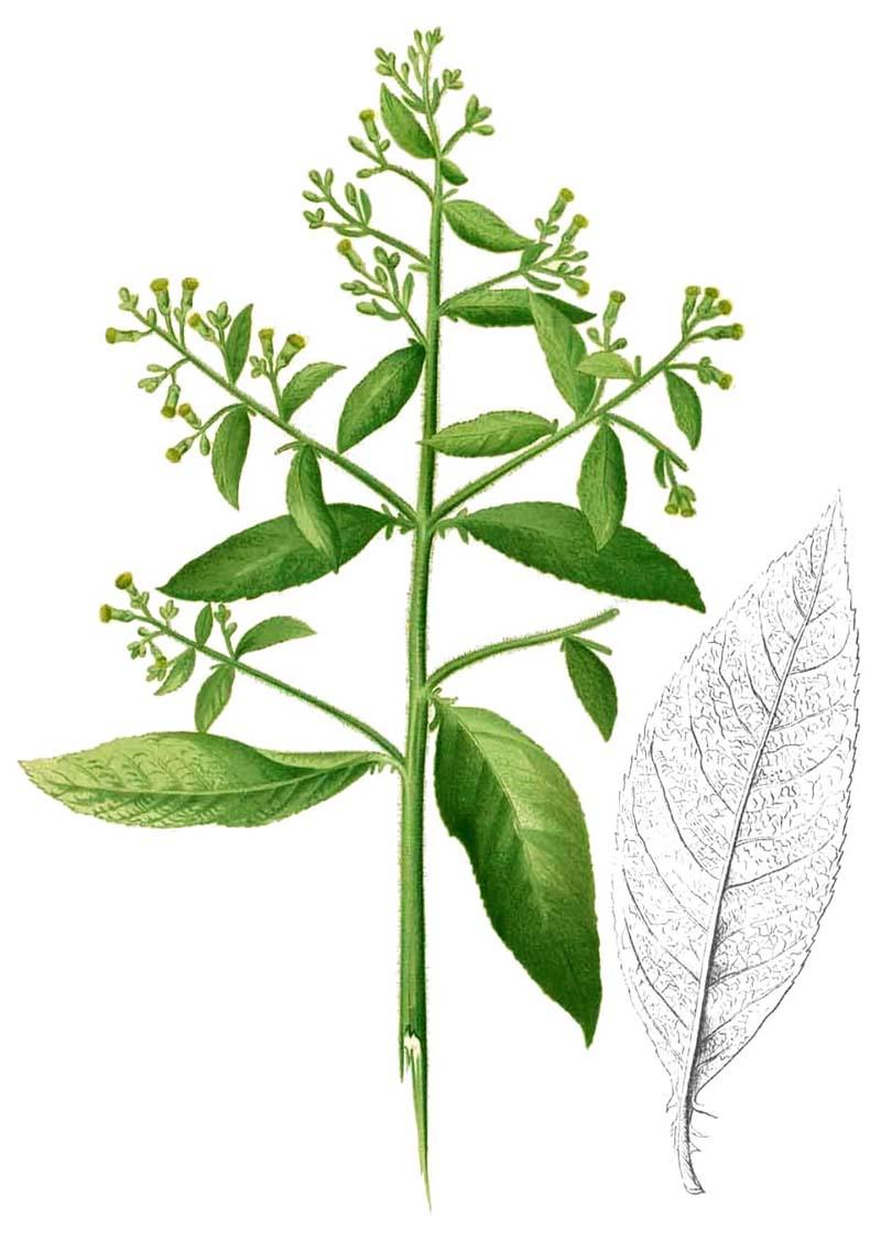 Cây đại bi là loại thảo dược phổ biến