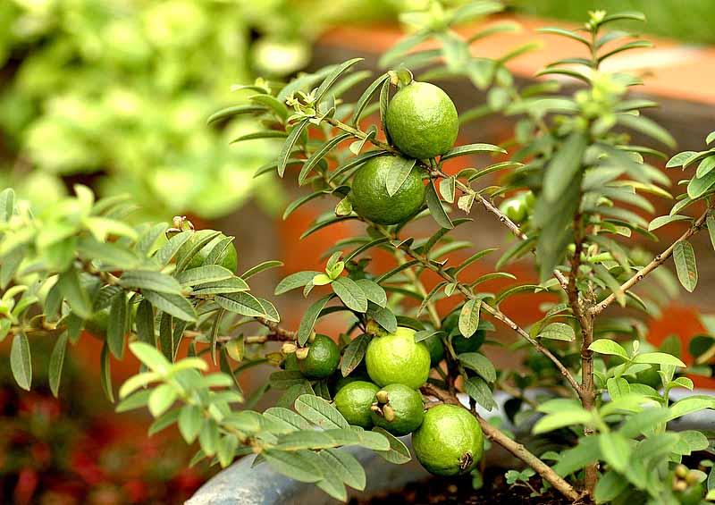 Cây ổi không chỉ là loại cây ăn quả phổ biến mà còn là thảo dược quan trọng