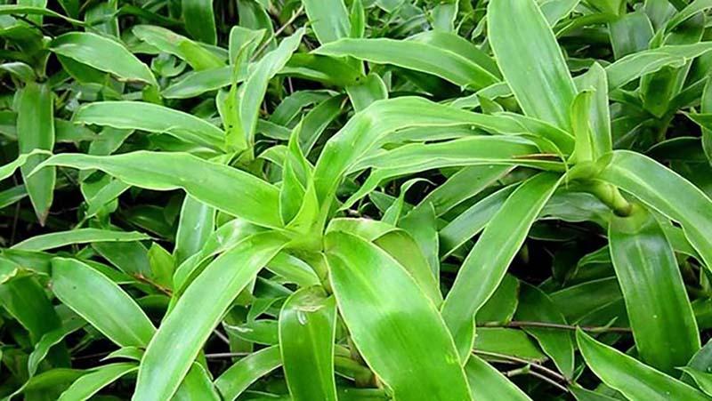 Bài thuốc nam trị viêm xoang từ cây lược vàng được nhiều người biết đến và sử dụng