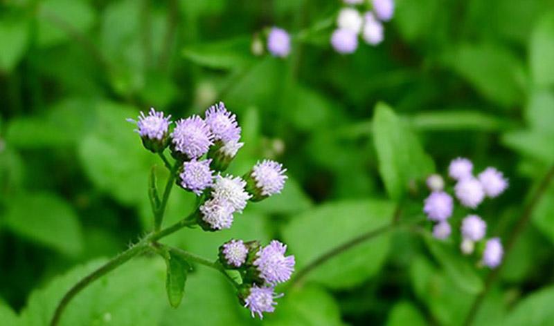 Có nhiều cách sử dụng hoa ngũ sắc để điều trị bệnh viêm xoang