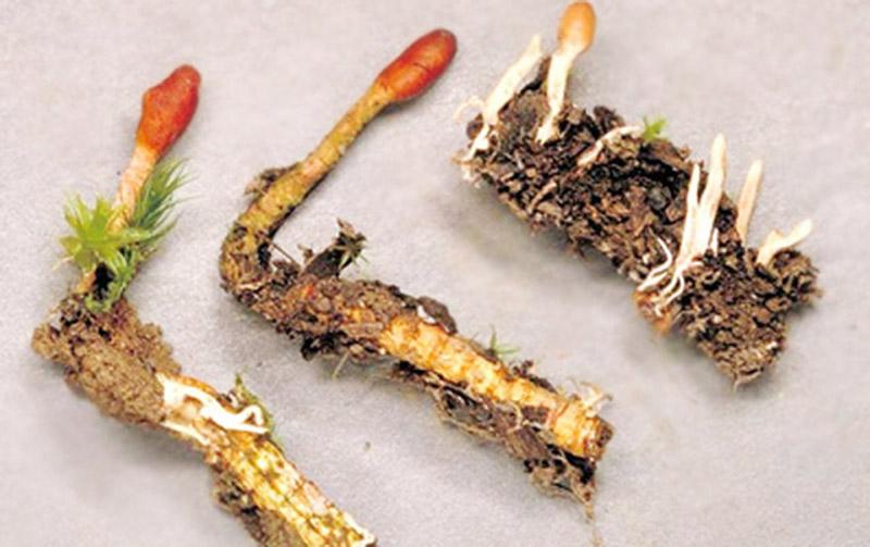 Đông trùng hạ thảo là sự hình thành kỳ diệu từ trùng và thảo
