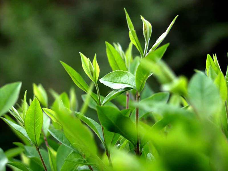 Lá trà xanh có nhiều công dụng trong chữa bệnh mề đay