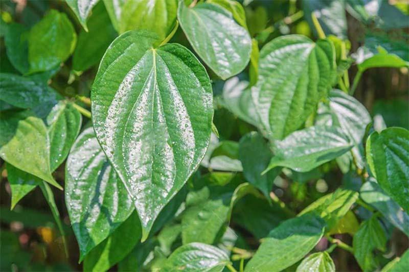 Các hoạt chất trong lá trầu không có tác dụng chống viêm, sát khuẩn, rất thích hợp để xông hơi trị viêm xoang
