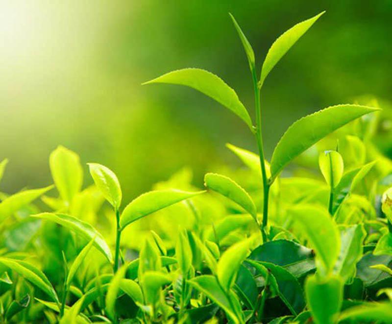 Ngoài lá khế, lá trầu không, trà xanh cũng là một loại thảo dược rất tốt dành cho trẻ bị nổi mẩn ngứa