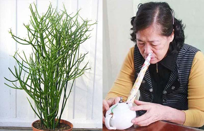 Xông hơi trị viêm xoang bằng cây giao là cách chữa bệnh có từ rất lâu đời, được nhiều người sử dụng