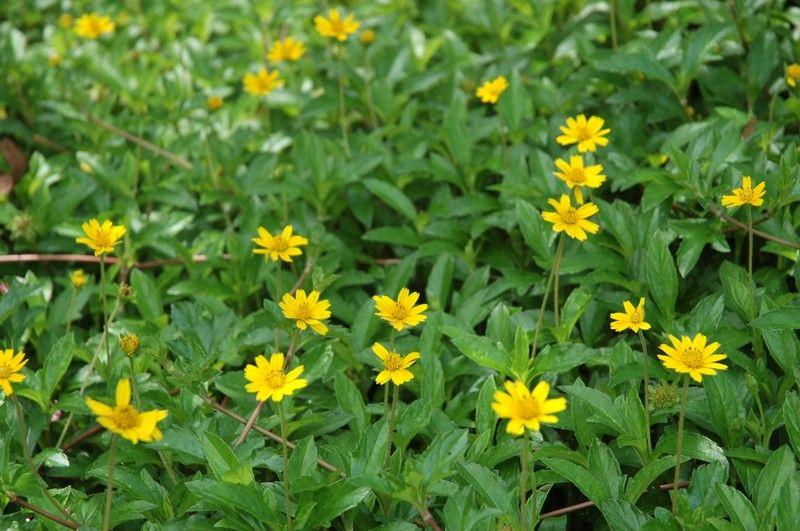 Cây sài đất có công dụng giải độc, chống viêm rất hiệu quả