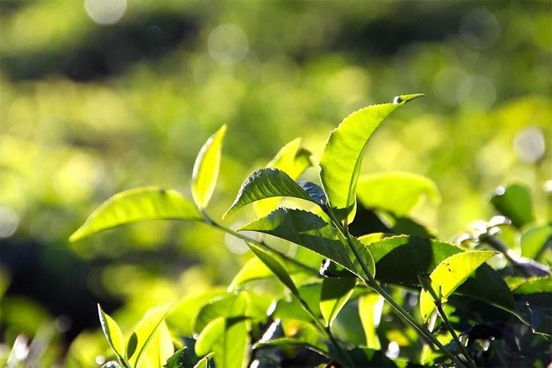 Lá trà xanh rất hiệu quả trong điều trị các bệnh về da liễu