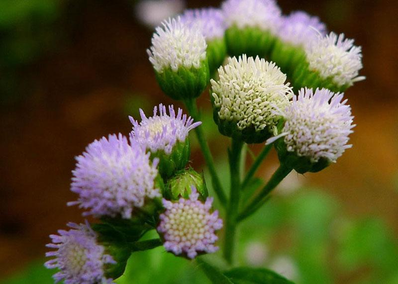 Hoa ngũ sắc chứa hàm lượng tinh dầu cao và có nhiều hoạt chất kháng khuẩn, tiêu sưng