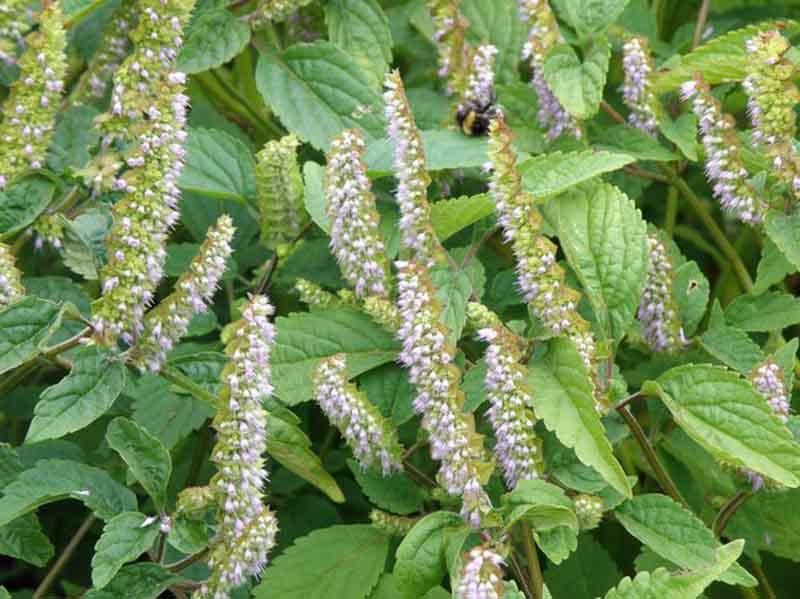 Cây hoắc hương cho hiệu quả tốt trong điều trị viêm xoang