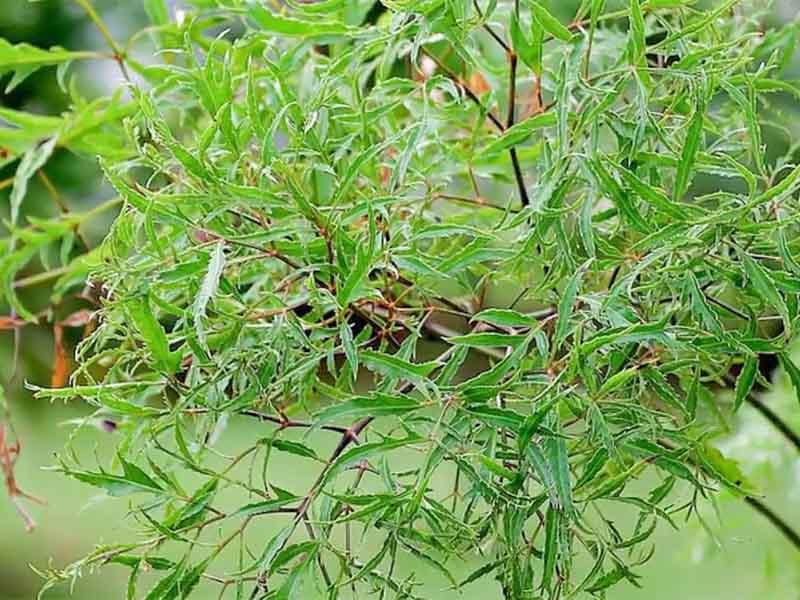 Bài thuốc nam chữa thoát vị đĩa đệm từ cây đinh lăng được nhiều bệnh nhân sử dụng