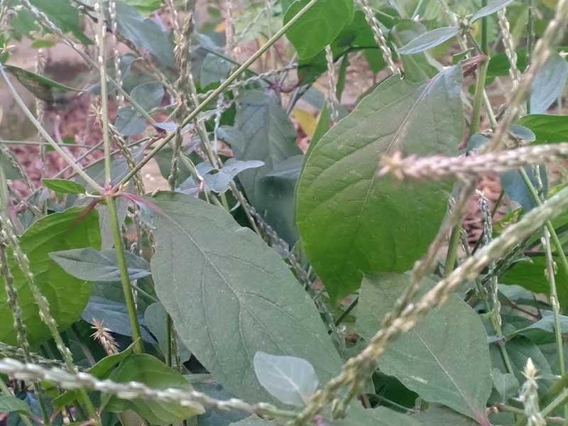 Cây cỏ xước có tác dụng giảm đau và chống viêm hiệu quả