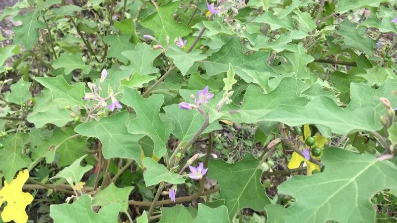 Cà hoa dây hoa tím không có công dụng chữa bệnh