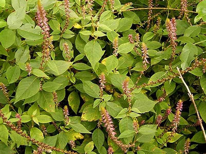 Cây cỏ xước có tác dụng chống viêm và giảm đau hiệu quả