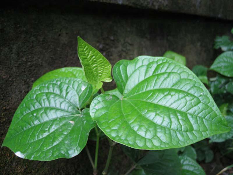 Trong thành phần của lá lốt có chứa nhiều kháng sinh tự nhiên