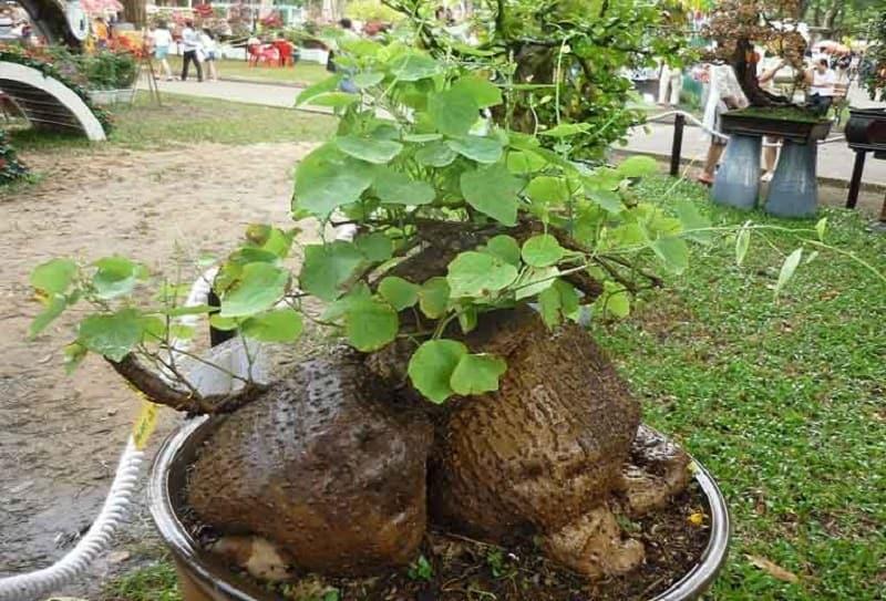 Hình ảnh cây bình vôi trong tự nhiên
