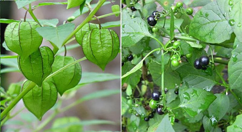 Tầm bóp hay còn gọi là lu lu cái, khác với cây lu lu đực