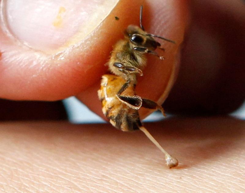 Nọc ong chứa nhiều chất độc nếu không biết sử dụng đúng cách