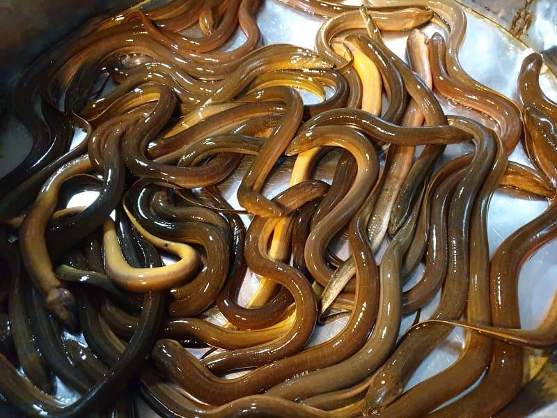 Lươn nấu đảng sâm chữa đau dạ dày