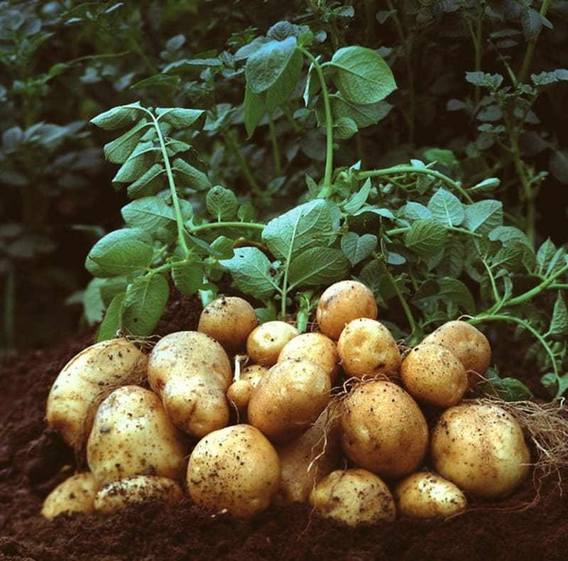 Bài thuốc chữa đau dạ dày tại nhà với khoai tây