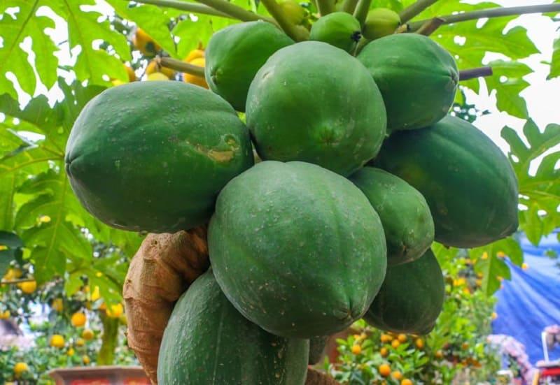 Bài thuốc dân gian chữa bệnh đau dạ dày từ cây đu đủ
