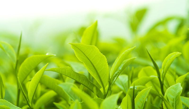 Lá trà xanh chứa nhiều dưỡng chất giúp cải thiện ngứa, ngừa viêm da hiệu quả