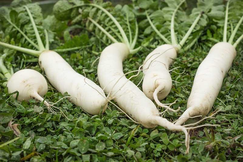 Bài thuốc chữa viêm họng hạt mủ bằng nước củ cải trắng được nhiều bệnh nhân ưa chuộng