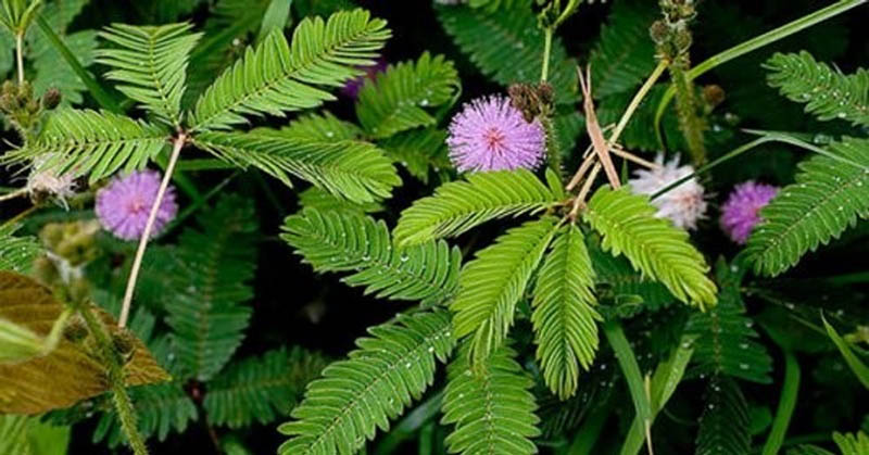 Một trong những cách chữa viêm khớp dạng thấp hiệu quả là sử dụng rễ cây trinh nữ