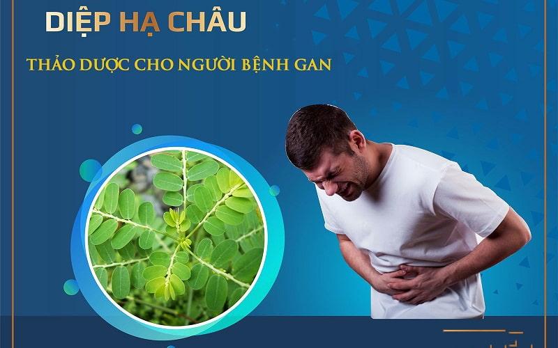 Diệp hạ châu là thảo dược quý cho người bệnh gan
