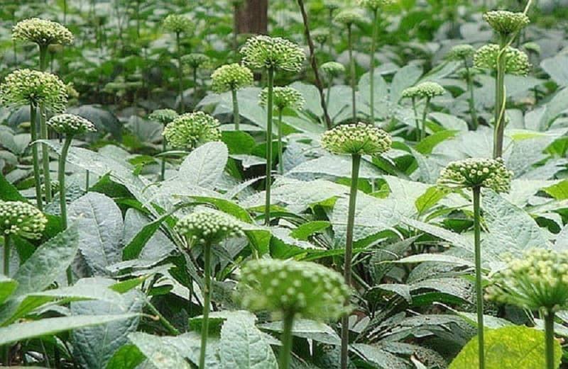 Cây tam thất nở hoa vào tháng 4 đến tháng 5 hàng năm