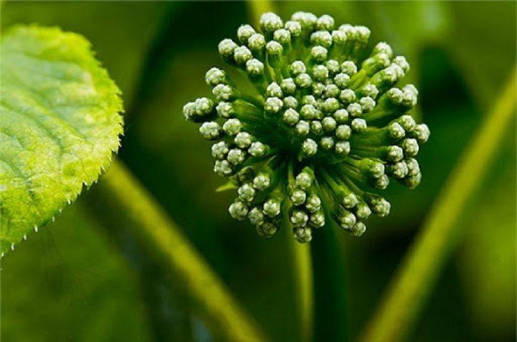 Hoa tam thất - Công dụng, cách dùng và lưu ý khi sử dụng