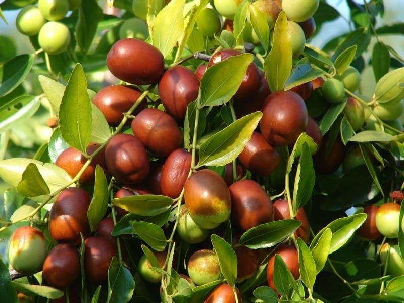 Hình ảnh quả táo tàu đang chín dần tự nhiên trên cây