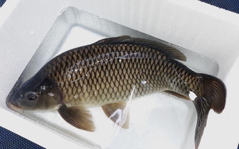 Cá chép cải thiện các rối loạn sinh lý