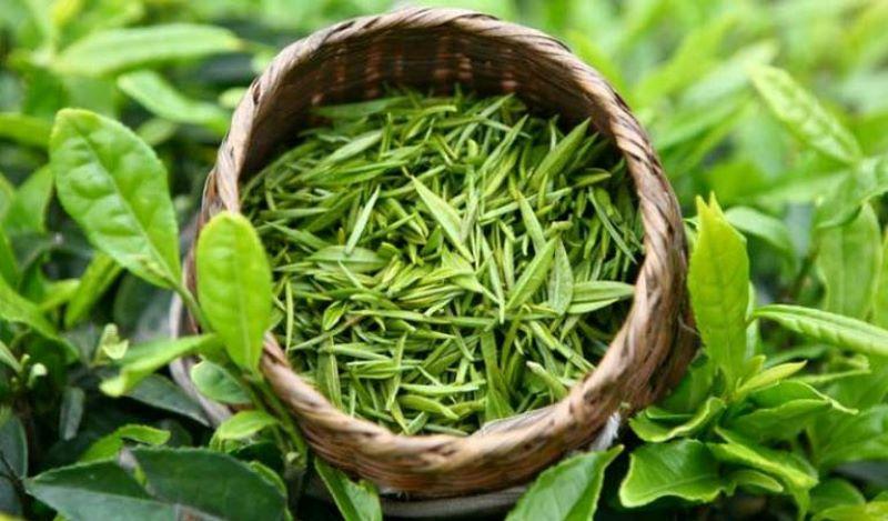 Dùng lá trà xanh để trị bệnh nhằm đảm bảo an toàn