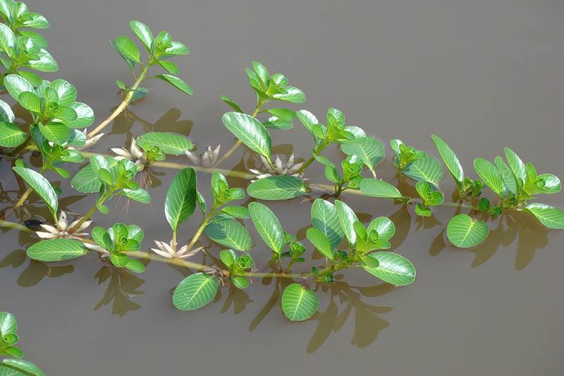 Bài thuốc từ rau dừa nước được nhiều người dùng