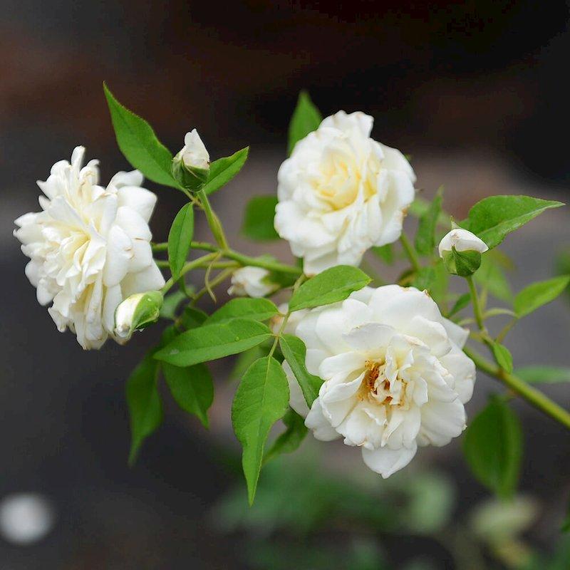 Sử dụng cách trị bệnh từ hoa hồng trắng giúp giảm nhanh triệu chứng bệnh sổ mũi