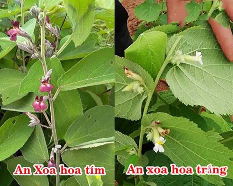 Cây an xoa có 2 loại gồm loại hoa tím và loại hoa trắng