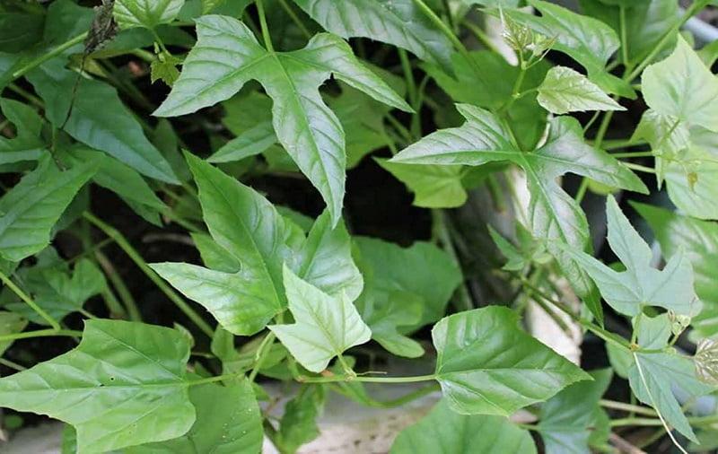 Bộ phận dùng làm thuốc là lá, thân, rễ, củ