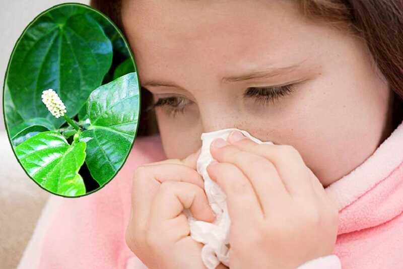 Không dùng các bài thuốc với lá lốt cho người có cơ địa dị ứng với các thành phần trong lá lốt